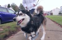 Viral: Perrito con prótesis impresas en 3D corre por primera vez
