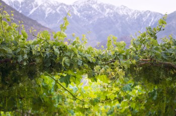 Spring Vineyard when Grapevine flower are transforming into a grape berry. Elqui Valley Andes part of Atacama Desert in the Coquimbo region Chile