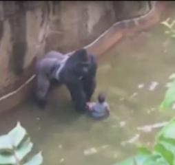 Harambe Gorila