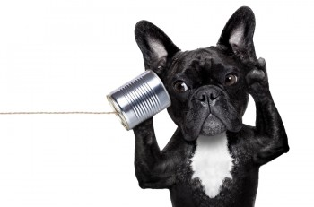 french bulldog dog listening or talking on the can telephone isolated on white background