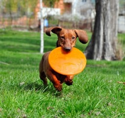 Dog breed standard smooth-haired dachshund, bright red color. Dog running with flying saucer. Dog playing. Dog for a walk.