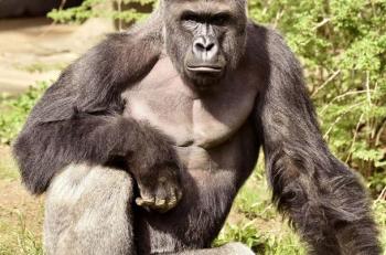 Harambe, el gorila que murió en el zológico de Cincinnati. Imagen: Mirror.