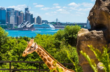 Sydney Australia - January 11 2014 : Girraffe at Taronga Zoo in Sydney with Harbour Bridge in background. Taronga Zoo is the city zoo of Sydney and is located on the shores of Sydney Harbour