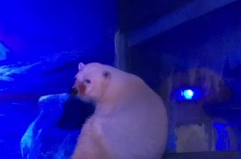 oso_polar_triste