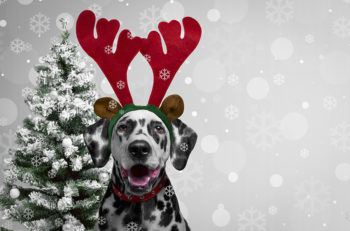 Christmas card. Dog Dalmatian dress for new year as Christmas reindeer horns. Christmas background with snowflakes on the dog. Behind dog Dalmatian Christmas tree. Blank space.