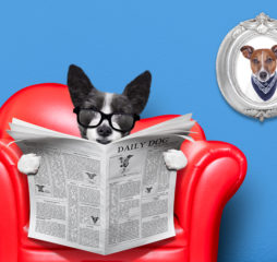 terrier dog reading newspaper on a red sofa couch or lounger in living room isolated on blue wall