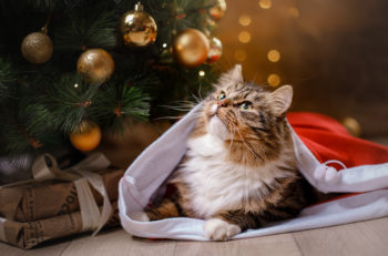 Tabby and happy cat. Christmas season 2017 new year holidays and celebration