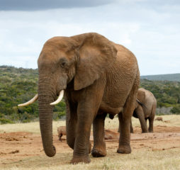 African Bush Elephant to close - The African bush elephant is the larger of the two species of African elephant. Both it and the African forest elephant have in the past been classified as a single species.