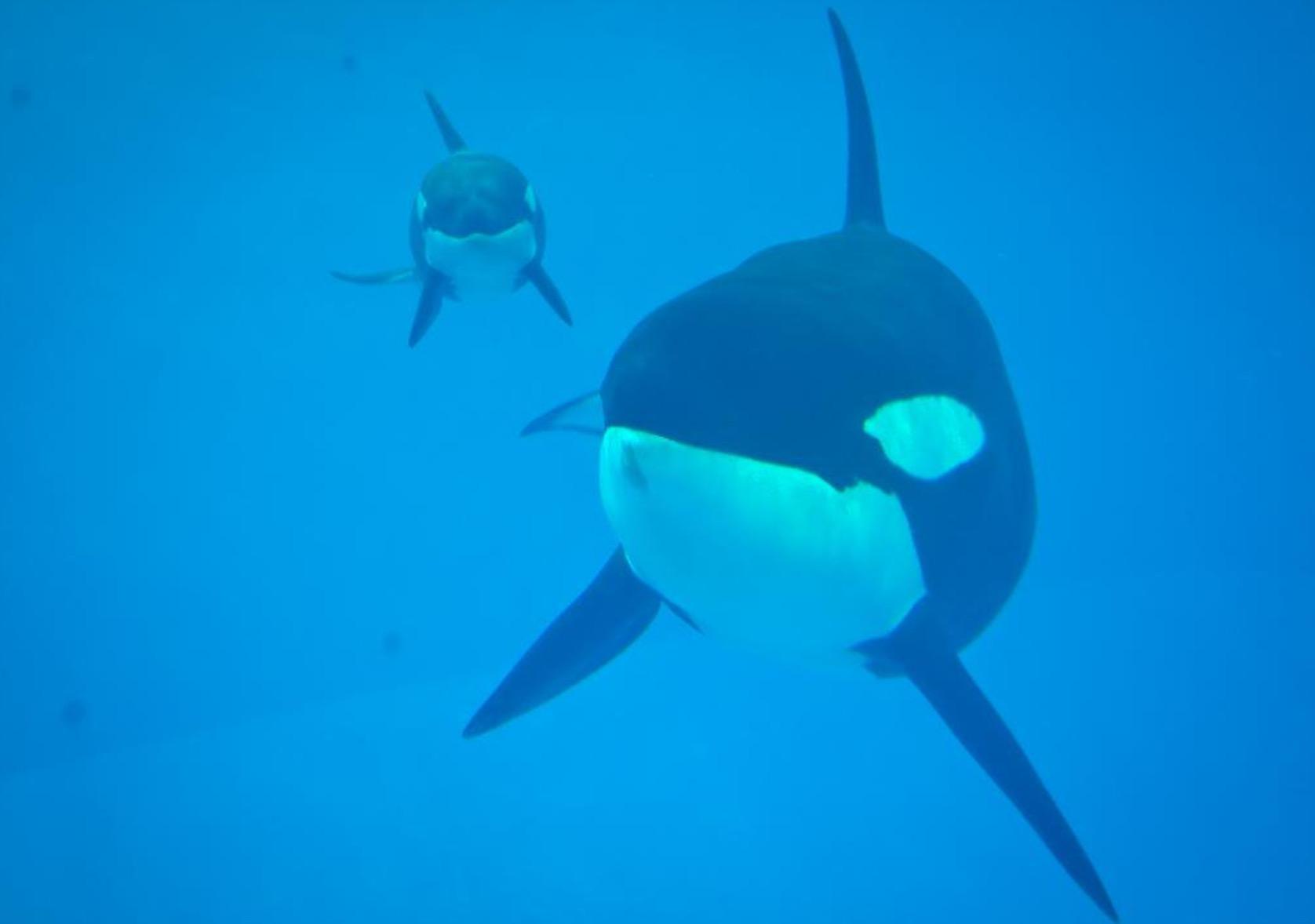 Muere la última orca nacida en cautiverio