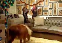 El pony en la vitrina. Captura de video.