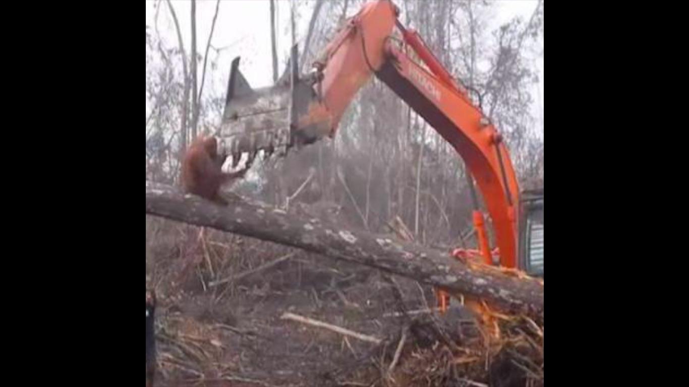 orangutan-video-viral