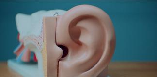 Modelo de oreja y oído humano