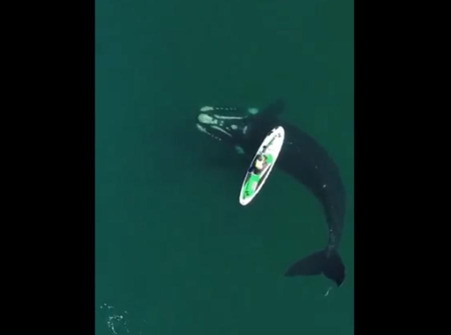 Video viral de una ballena hace historia (1)